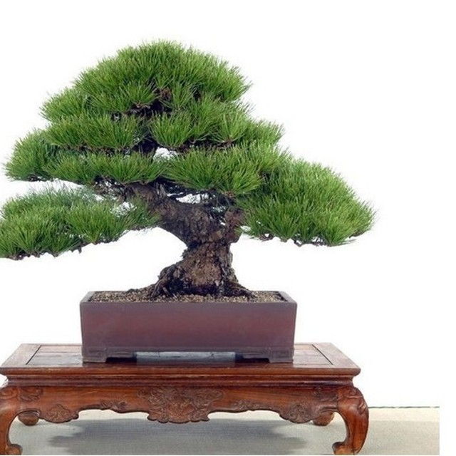 Benih Biji bibit Pinus Jepang Bonsai import - Repack 5 biji