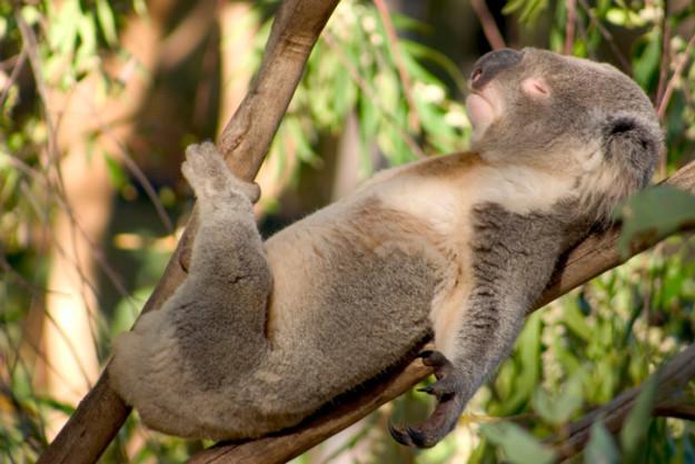 え? 寝てる時のコアラのかわいさ知らないの? まじパねぇから
