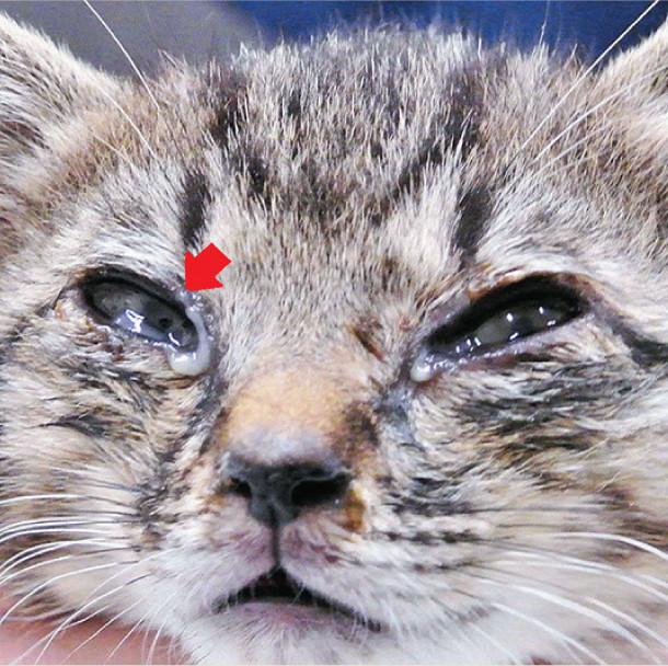目薬 猫 結膜炎 嫌がる猫もOK!上手な目薬のさしかたと知っておきたいコツ|猫の総合情報サイト ペットスマイルニュースforネコちゃん