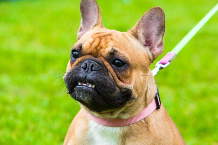 Image result for 犬 frenchie bulldog 彼の歯を見せて