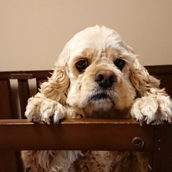 Image result for cocker 犬 美しい