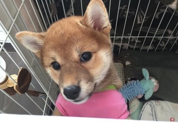 Image result for 犬 shiba 抱きしめる