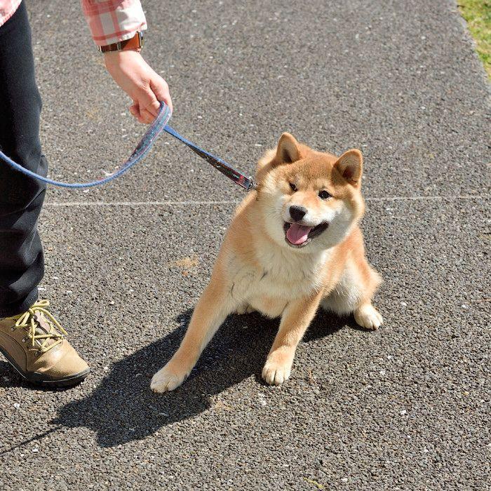 Resultado de imagen para 犬 Shiba 遊び心のある