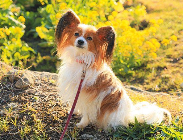 増える犬の現代病 隠れアレルギー なりやすい犬種は