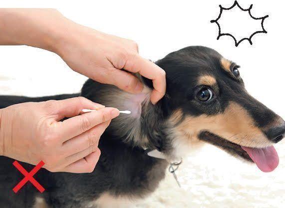 掃除 犬 耳