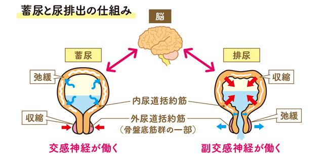括約筋 内 尿道