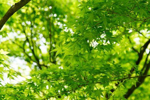 今しか見られない「青もみじ」を見に、そうだ 京都、行こう ...