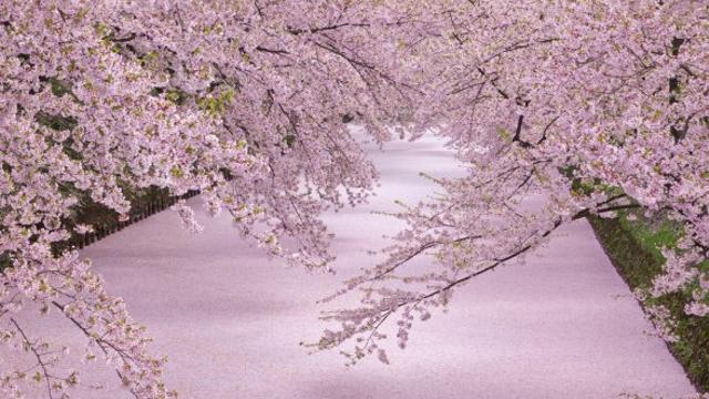 「桃色の水面「花いかだ」」の画像検索結果